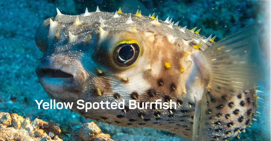 851 Yellow Spotted Burrfish.jpg