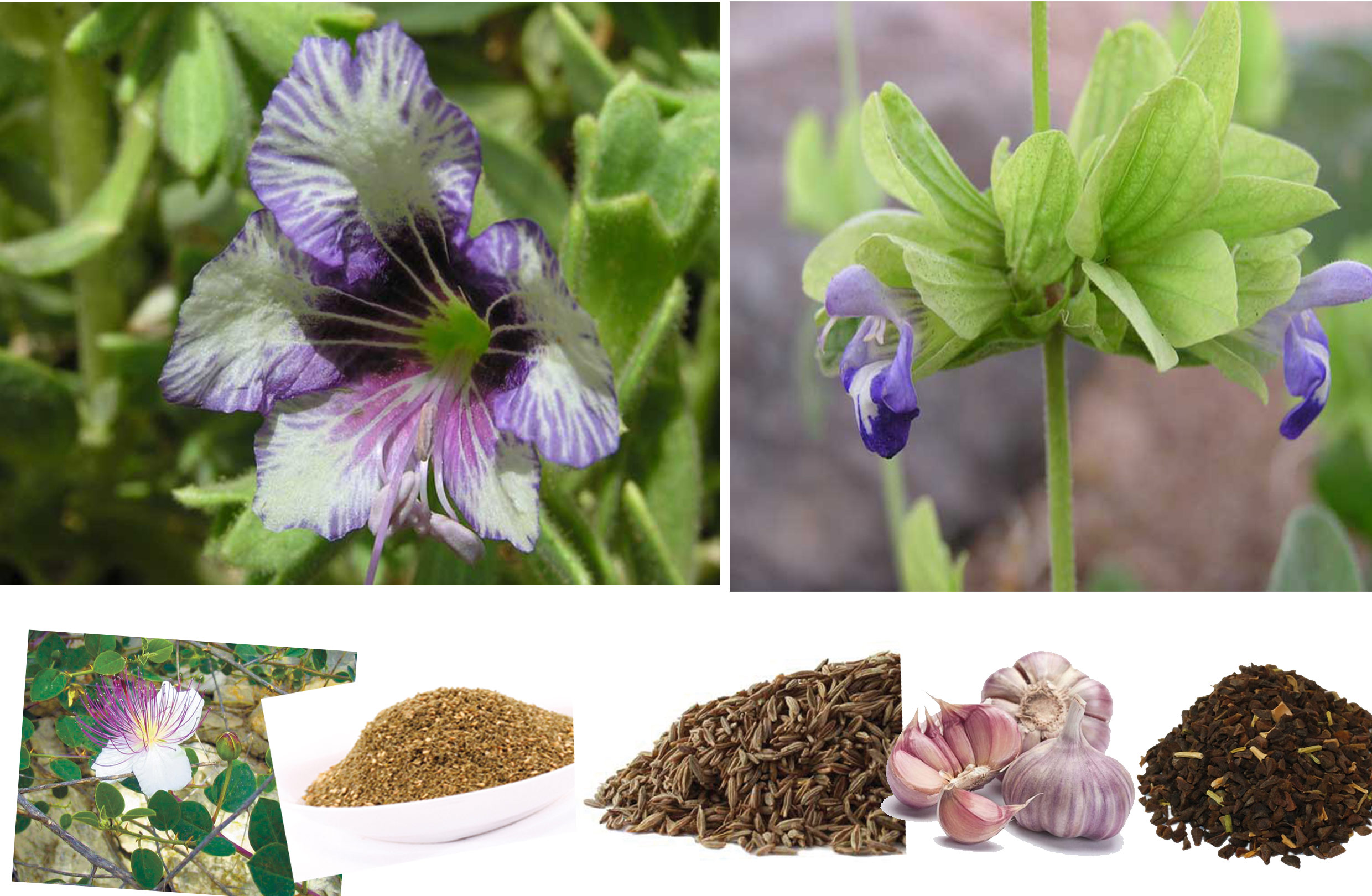 Stories about the medicinal herbs of Sinai and Bedouin medicine