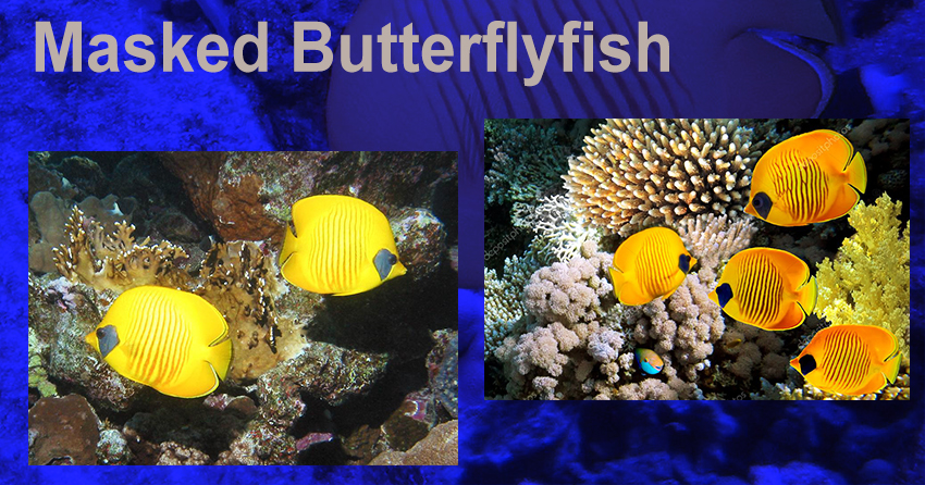 masked butterfly fish share image